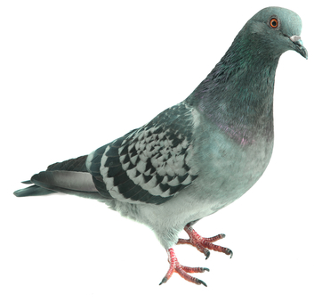 pigeon on a white background, isolated