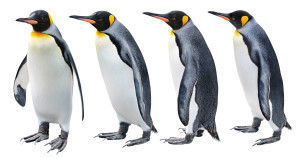 King Penguin in various poses isolated on white